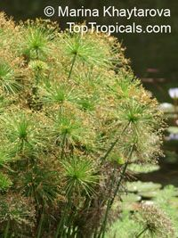 Cyperus haspan - Dwarf Papyrus  Click to see full-size image