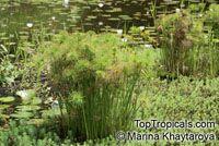 Cyperus haspan, Dwarf Papyrus, Sharp Edge Sedge, Haspan Flatsedge  Click to see full-size image