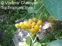 Cyphomandra abutiloides, Dwarf Tamarillo Tree  Click to see full-size image