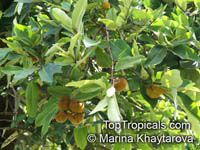 Diospyros blancoi, Diospyros discolor, Velvet Apple, Mabolo  Click to see full-size image