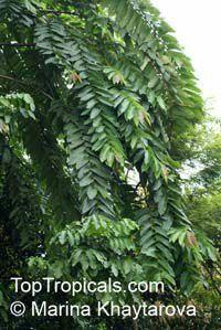 Duabanga grandiflora, Lampati  Click to see full-size image
