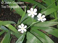 Eleutherine bulbosa, Sisyrinchium bulbosum, Galatea bulbosa , Lagrimas De La Virgen, Yahuar Piripiri   Click to see full-size image