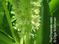 Eucomis autumnalis, Eucomis undulata , Pineapple LilyClick to see full-size image