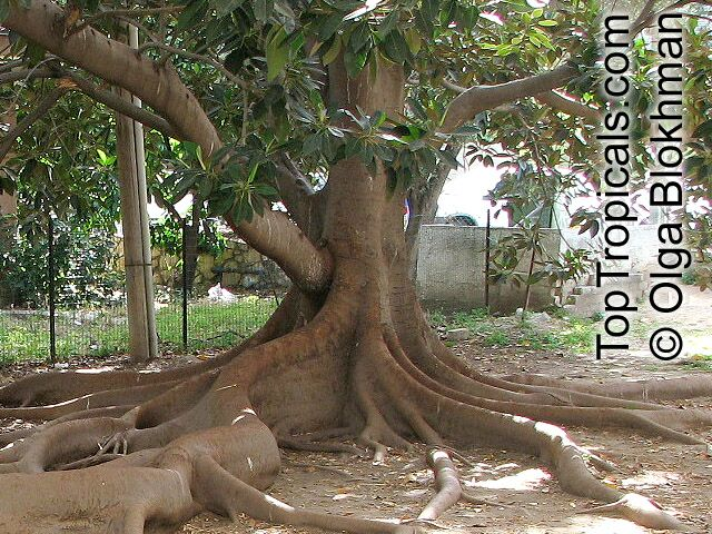 Ficus Elastica Rubber Tree Toptropicals Com
