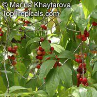 Flacourtia inermis, Rukam, Batoko Plum, Lori-LoriClick to see full-size image