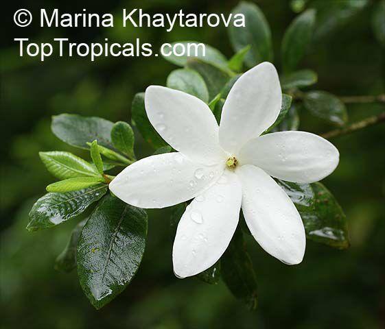 Gardenia Radicans Variegata: Tropical Plant Catalog