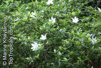 Gardenia scabrella, Star Flower  Click to see full-size image