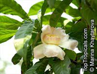 Gustavia gracillima, Heaven Lotus, Narrow-Leaved Gustavia  Click to see full-size image
