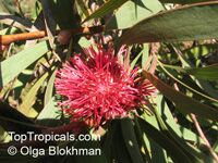Hakea laurina, Pin-cushion Hakea  Click to see full-size image