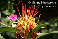Hedychium longicornutum, Perched Gingerwort  Click to see full-size image