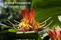 Hedychium longicornutum, Perched GingerwortClick to see full-size image