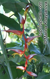 Heliconia sp., Heliconia, Lobster Claw