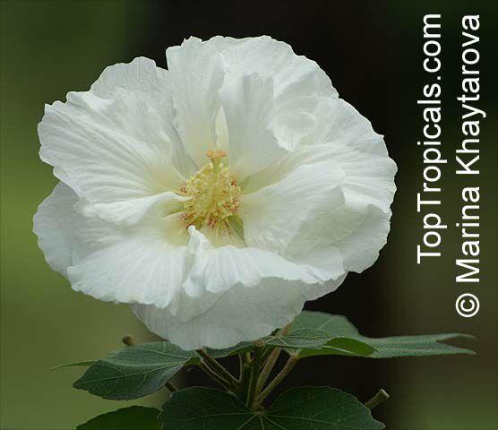 Hibiscus Mutabilis Confederate Rose Cotton Rose Common