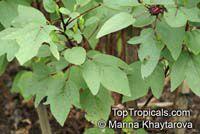 Hibiscus sabdariffa, Karkade, Red sorrel, Red tea, Roselle, Flor de Jamaica, Rosa de JamaicaClick to see full-size image