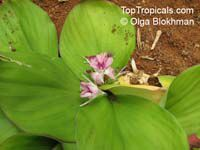 Kaempferia galanga, Sand Ginger, Aromatic Ginger, Resurrection Lily  Click to see full-size image
