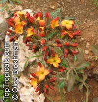 Kalanchoe velutina, Velvet Leaf Kalanchoe   Click to see full-size image