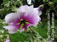 Lavatera maritima, Tree Mallow   Click to see full-size image