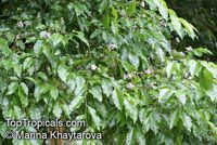 Lecythis pisonis, Monkey Pot, Paradise Nut, Sabucaia Nut