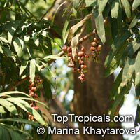 Lepisanthes fruticosa , Chammaliang  Click to see full-size image
