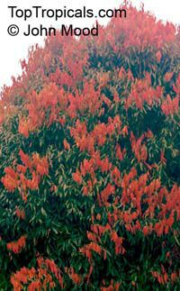 Mesua ferrea, Ironwood, Cobra's Saffron, Ceylon Ironwood, Indian Rose Chestnut, Penaga Lili  Click to see full-size image