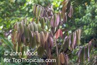 Monodora myristica, Calabash Nutmeg, Jamaica NutmegClick to see full-size image