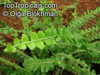 Nephrolepis duffii, Nephrolepis cordifolia Duffii , Pigmy Swordfern, Little-leaved Swordfern, Fishbone Fern, Lemon Button Fern   Click to see full-size image