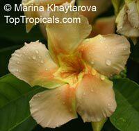Odontadenia macrantha, Odontadenia grandiflora, Odontadenia speciosa, Echites macrantha, Odontadenia  Click to see full-size image