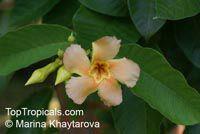 Odontadenia macrantha, Odontadenia grandiflora, Odontadenia speciosa, Echites macrantha, OdontadeniaClick to see full-size image