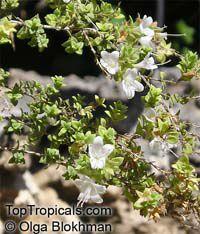 Origanum dayi Post, Desert Oregano  Click to see full-size image
