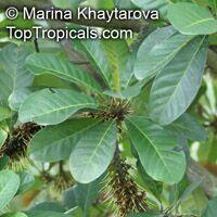 Palaquium obovatum, Isonandra obovata , White Gutta  Click to see full-size image