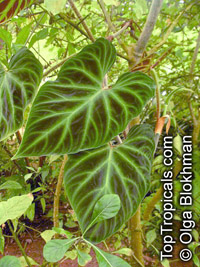 Philodendron verrucosum, Ecuador Philodendron, Velvet-leaf Philodendron