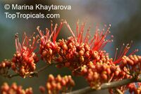 Barnebydendron riedelii, Phyllocarpus riedelii, Phyllocarpus septentrionalis, Monkey Flower Tree, Fire of Pakistan  Click to see full-size image