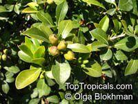 Pittosporum viridiflorum , Cheesewood  Click to see full-size image