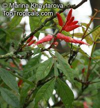 Quassia amara, Amargo, Bitter Ash, Bitterwood  Click to see full-size image