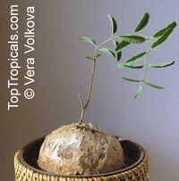 Raphionacme procumbens, Raphionacme  Click to see full-size image