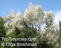 Retama raetam, Genista raetam , White Weeping Broom   Click to see full-size image