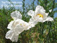 Romneya coulteri, Matilija Poppy, California Tree Poppy   Click to see full-size image