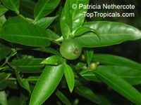 Rothmannia capensis, Wild gardenia, Common Rothmannia  Click to see full-size image