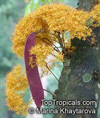 Saraca thaipingensis - Ashoka Tree  Click to see full-size image