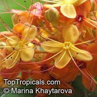 Saraca pierreana, Ashoka Tree