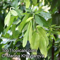 Saraca pierreana, Ashoka Tree  Click to see full-size image
