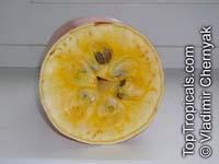 Sicana odorifera, Cucurbita odorifera, Cassabanana  Click to see full-size image