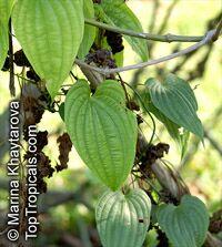 Stemona tuberosa , Stemona  Click to see full-size image