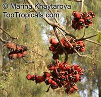 Sterculia foetida, Peon, Indian Almond, Hazel Sterculia, Java Olive, Skunk Tree  Click to see full-size image