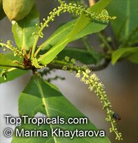 Terminalia catappa, Tropical Almond, Badamier, Java Almond, Indian Almond, Malabar Almond, Singapore Almond, Ketapang, Huu Kwang, Pacific Almond