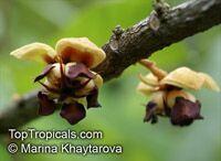 Theobroma grandiflorum, Cupuasu, Copoasu, Cupuacu  Click to see full-size image
