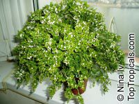 Thryptomene saxicola, Rock Thryptomene  Click to see full-size image