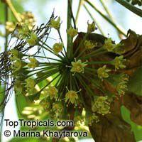 Trevesia palmata, Snowflake Tree, Snowflake AraliaClick to see full-size image