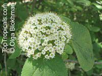 Viburnum odoratissimum - Sweet viburnumClick to see full-size image