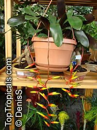 Vriesea scalaris, Bromeliad  Click to see full-size image